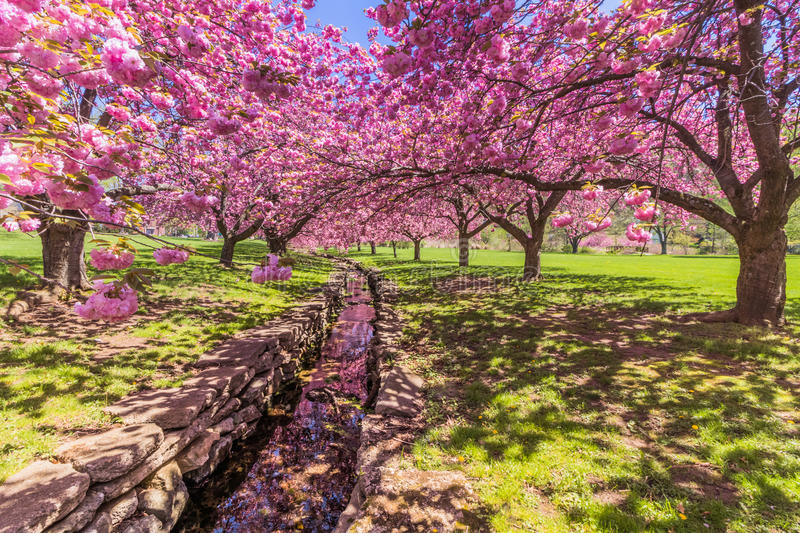 A stone canal reflects pink cherry trees in full bloom. Pink cherry trees in full bloom under bright blue sky in springtime stock images