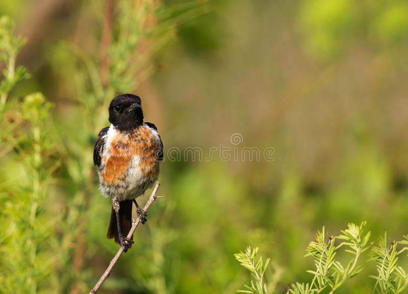 Download Stone chat stock photo. Image of flap, beak, saxicola - 23975584