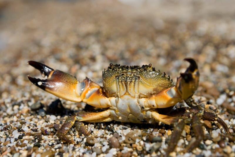 Stone Crab (Eriphia verrucosa) royalty free stock photo