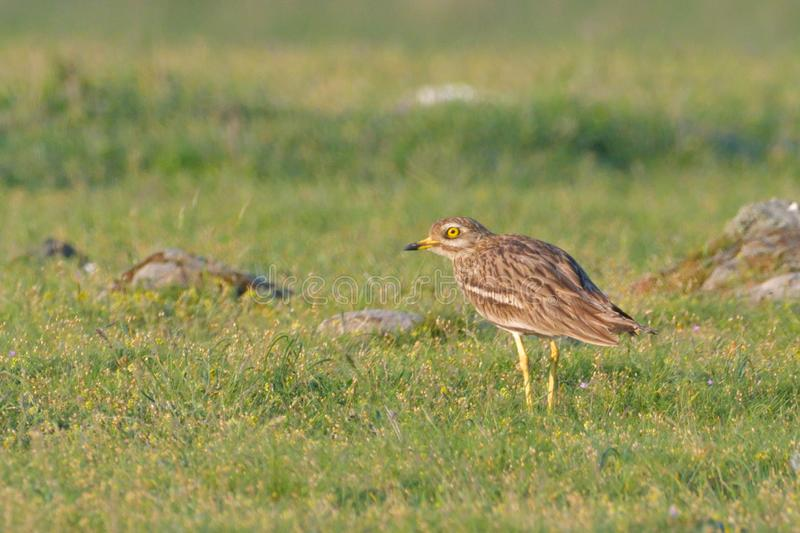 Stone curlew on a steppe habitat stock photos