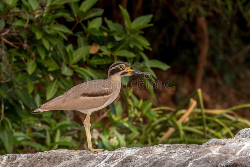 Stone curlews bird at bird sanctuary. Stone curlews bird at rangangthithu bird sanctuary with its brilliant look stock photo