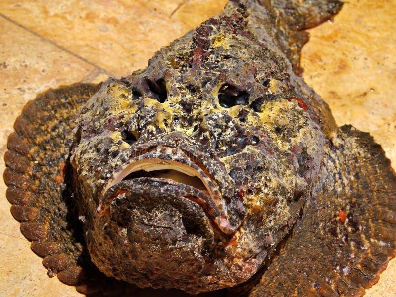 Stone fish. Red sea. Joedan royalty free stock photos