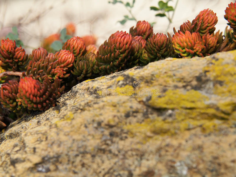 Stone flowers. Background of moss flower and stone with lichens royalty free stock photos