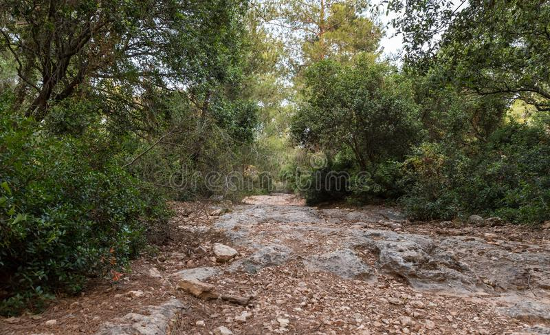 The stone  footpath leading through the Hanita forest in northern Israel, in the rays of the setting sun. The stone footpath leading through the Hanita forest in royalty free stock photo