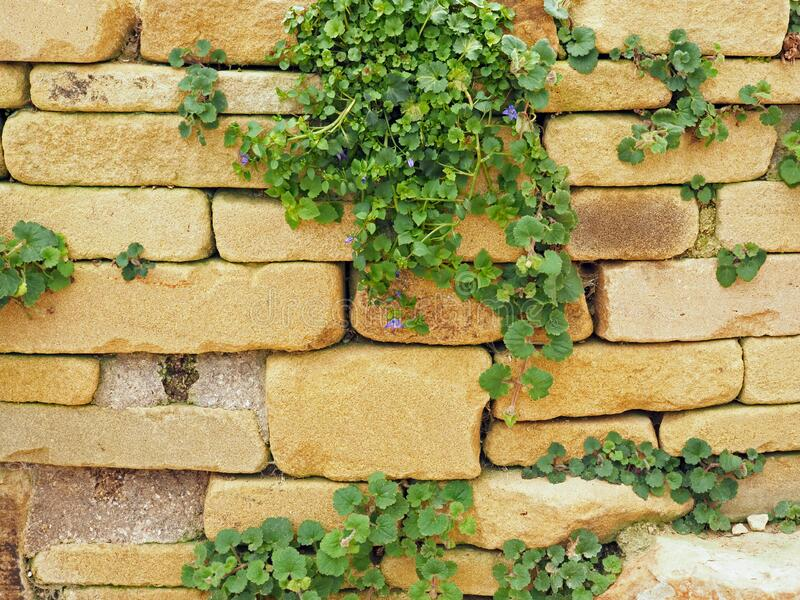 Stone Garden Wall With A Campanula Plant In Spring Stock Photo