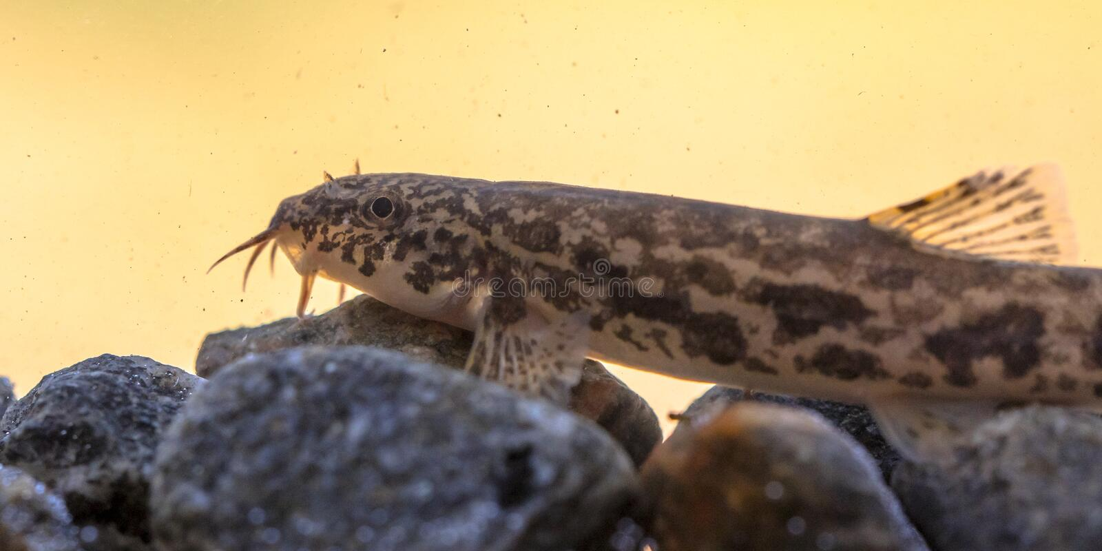 Stone loach resting on rocky bottom. Stone loach (Barbatula barbatula) is a species of fresh water ray-finned fish in the Nemacheilidae family stock images