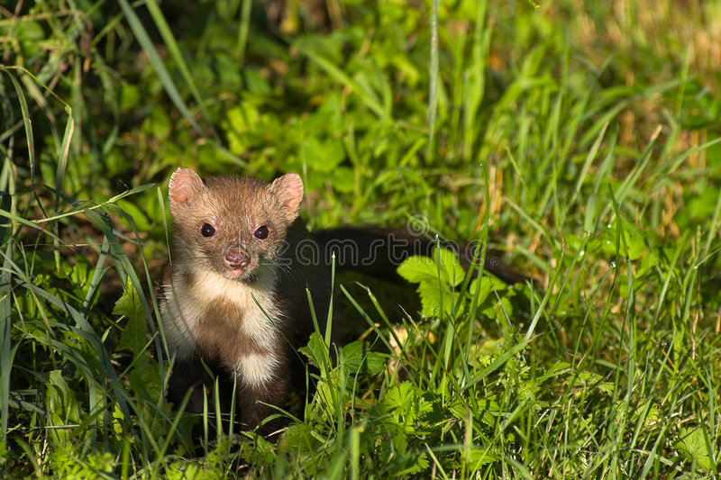 Download Stone marten stock image. Image of martes, hunt, jump - 2840725