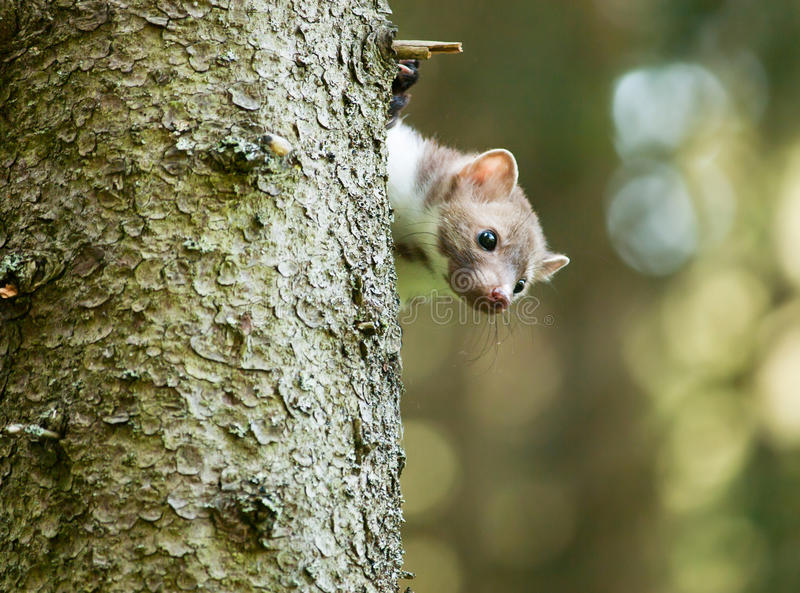 Stone marten be peeping out of tree - Martes foina stock images