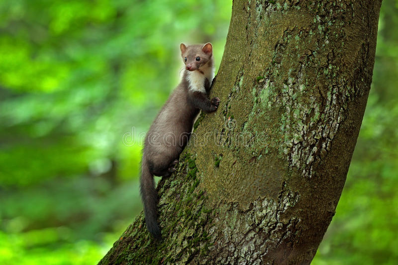 Stone marten, detail portrait of forest animal. Small predator sitting on the tree trunk with green moss in forest. Wildlife scene royalty free stock image