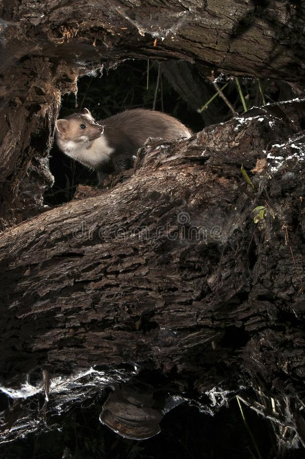 Stone Marten - Martes foina, of a tree, nocturnal mammal royalty free stock photo