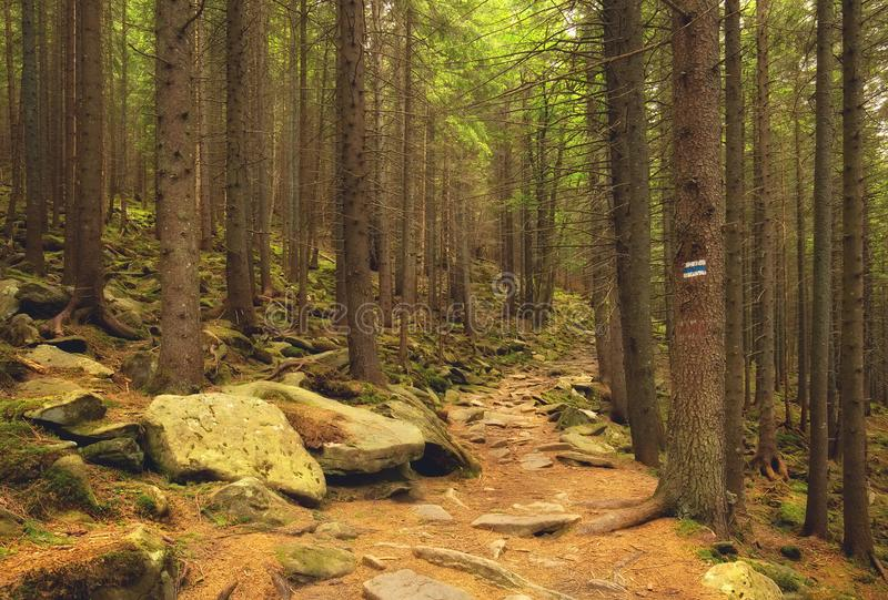 Stone path in the beautiful mountainside spruce forest. Summertime hiking trail, outdoor travel background royalty free stock image