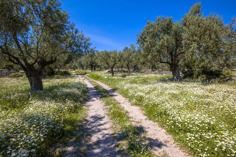 Stone path through olive grove. Old organic olive grove with white flowers and rocky track on a beautiful day with blue sky in spring stock images