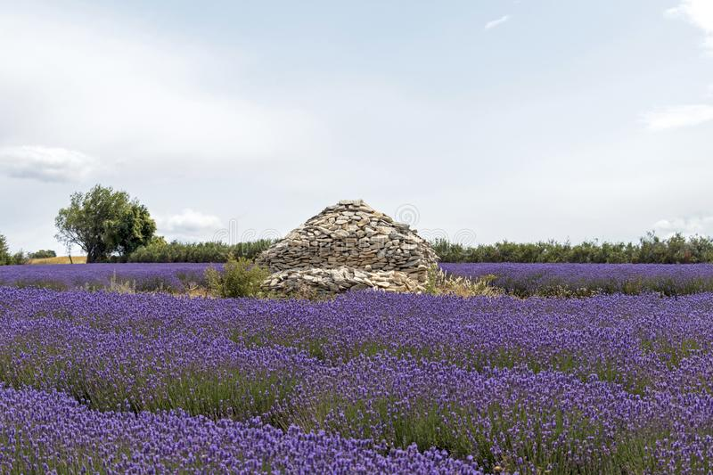 Stone pile house in the middle of colorful vivid purple lavender field in Provence, France stock photography