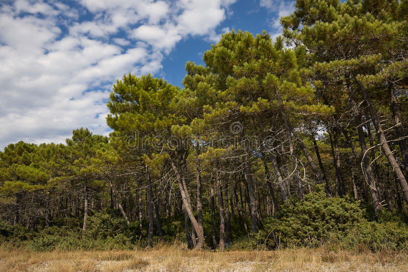 Stone Pine Forest. Mediterranean stone pine forest on the coast of Punta Ala, Tuscany, Italy stock photos