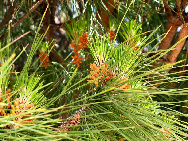 Stone Pine Or Pinus Pinea Algarve Portugal. Stone pine or Pinus pinea with old cones growing in coastal region of the Algarve in Portugal stock photography