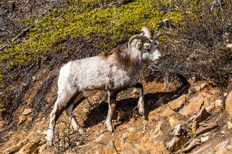 Stone`s Sheep Ram along the Cassiar Highway of the Yukon Territory of Canada. Young male ram Stone Sheep near the road looking for salt deposits in the Yukon royalty free stock images