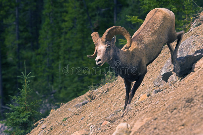 Stone sheep stock photography