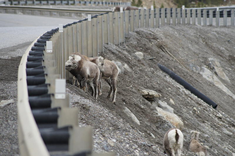 Download Stone Sheep Alaska Highway Canada Stock Image - Image of rail, highway: 51716347