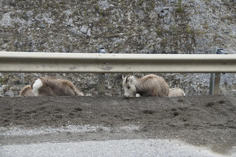 Download Stone Sheep Alaska Highway Canada Stock Image - Image of alaska, cubs: 51716459