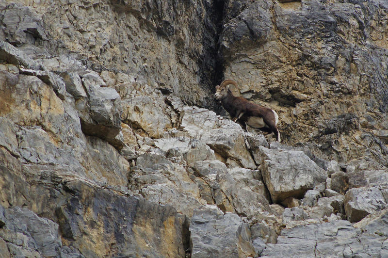 Stone Sheep Alaska Highway Canada stock photography