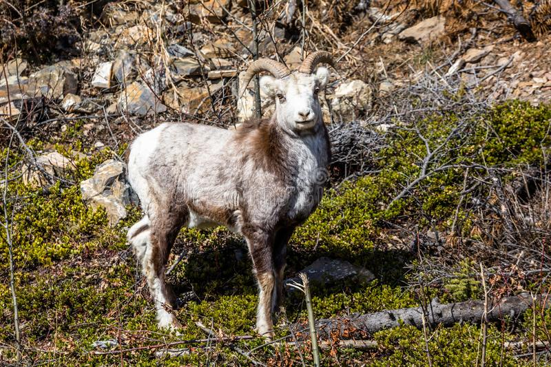 Stone Sheep, Bighorn Sheep, Dall`s Sheep, a Ram looks toward the Camera in the Yukon Territory of Canada stock photography