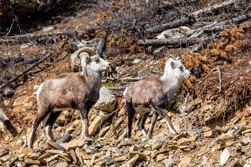Stone Sheep couple of the Yukon Territory in Canada stand near the Cassiar Highway and Alaska Highway junction. On the road north to Alaska two Stone`s Sheep royalty free stock photos