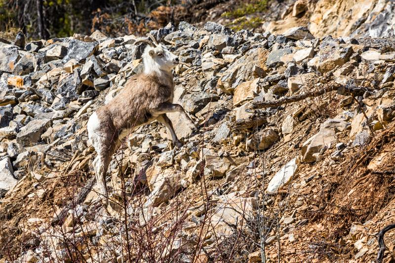 Stone Sheep ewe on steep hillside of loose rocks. Roadside in the Yukon Territory of northern Canada. A young female Stone`s Sheep in the Yukon Territory of stock photography