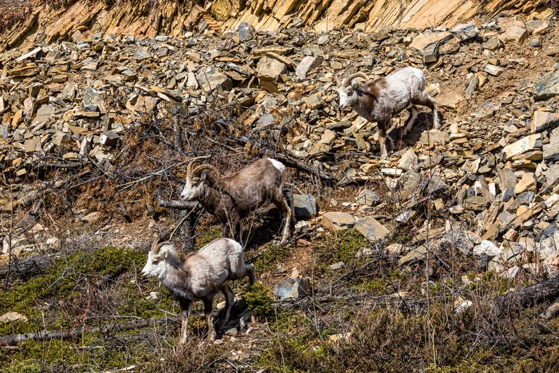 Stone Sheep herd in the Yukon near the Cassiar Highway. Two male and one female Stone Sheep walk down a rocky slope near the Cassiar Highway in southern Yukon royalty free stock photo