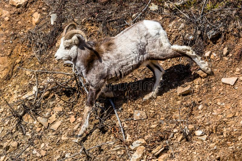 Stone Sheep ram walking down steep dirt slope in the remote Yukon Territory in Canada royalty free stock photo
