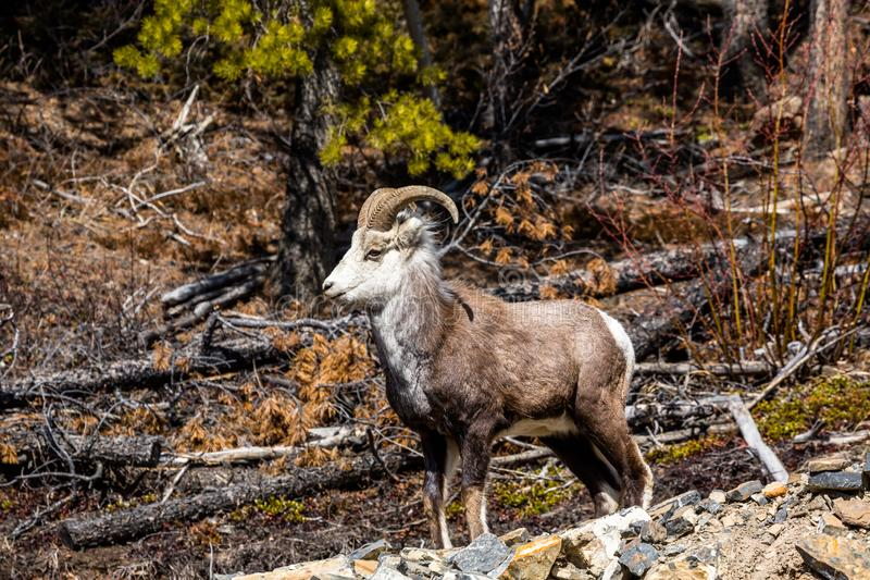 Stone sheep ram in the wilderness of the Yukon Territory of Canada, near the border of British Columbia. A young male Stone`s Sheep ram standing on rocks near stock photos