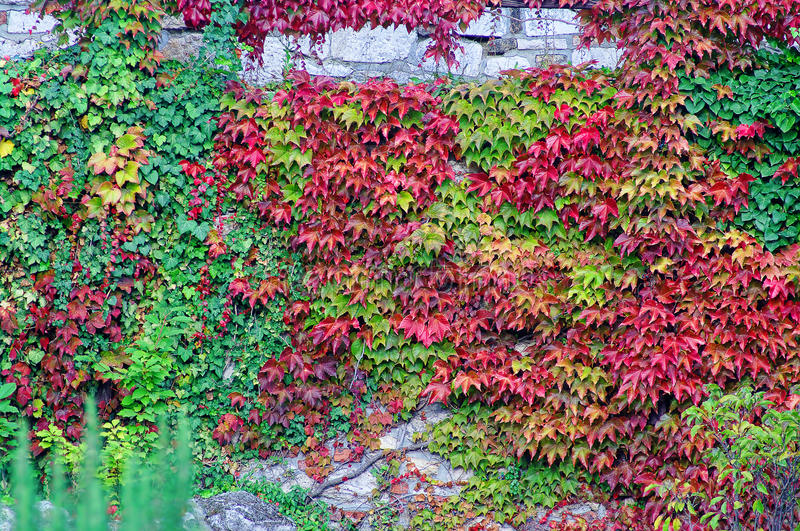 Stone wall covered in colorful ivy. Abstract background of old stone wall covered in colorful ivy royalty free stock image