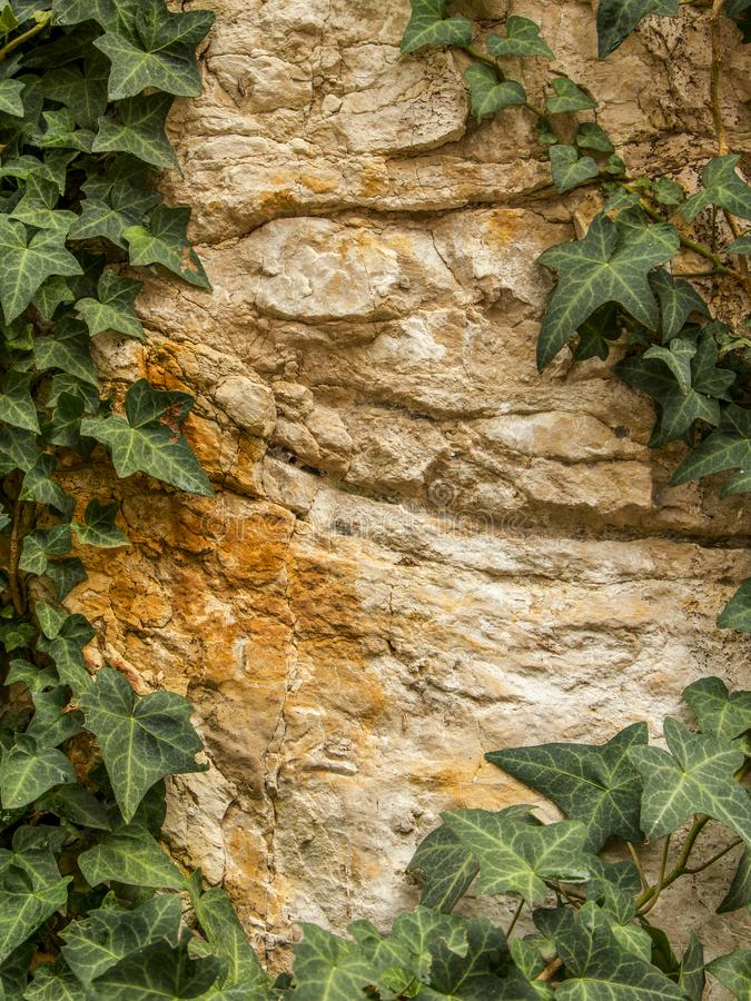 Stone Wall Texture. Stone wall with ivy. The beautiful texture of a natural stone with green ivy leaves. Green leaves border on stone background, top view stock photo