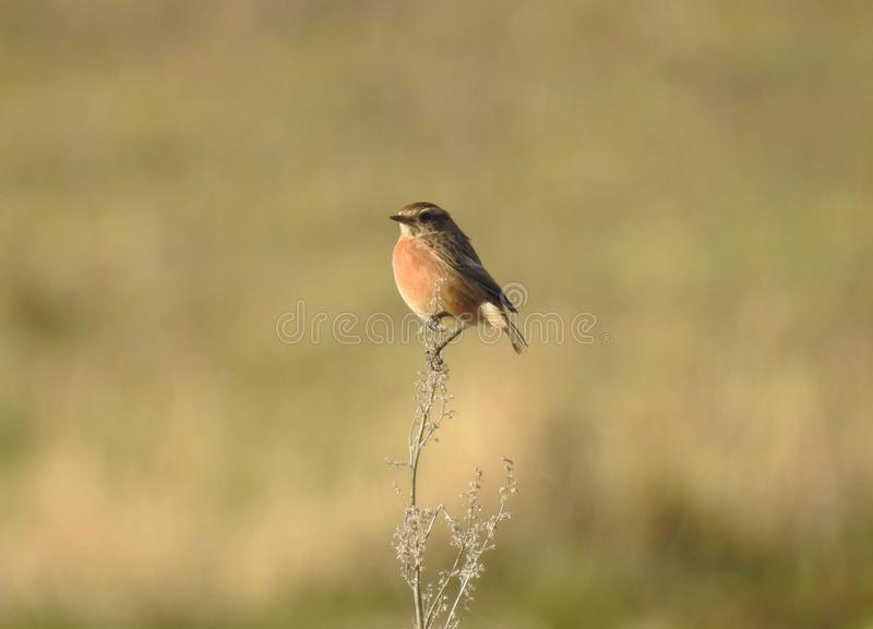 Stonechat bird / Saxicola Torquata perched on top of a tall shrub in sunlight stock photography