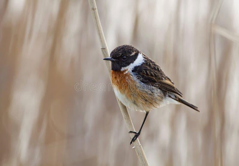Stonechat fågel royaltyfri bild