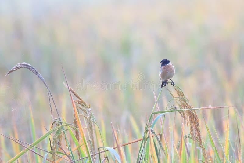 Stonechat orientale fotografia stock libera da diritti