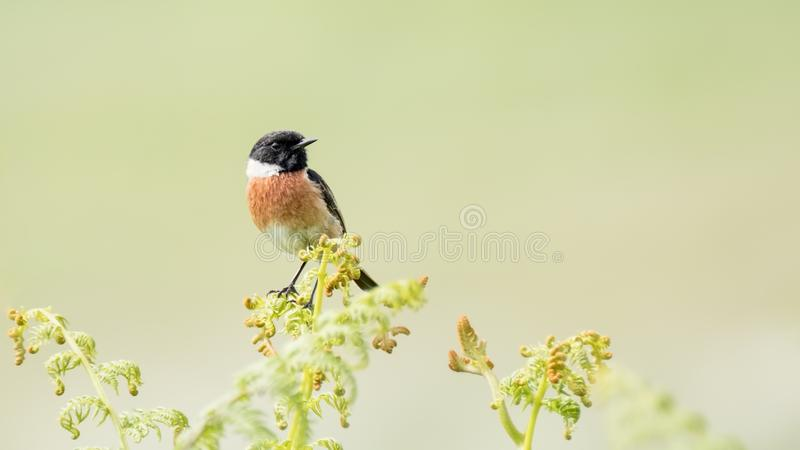Stonechat perched on fresh bracken stock photography