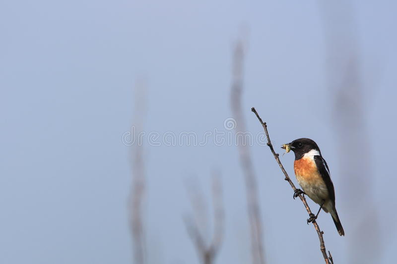 Download Stonechat on tree branch stock image. Image of wildlife - 31274837