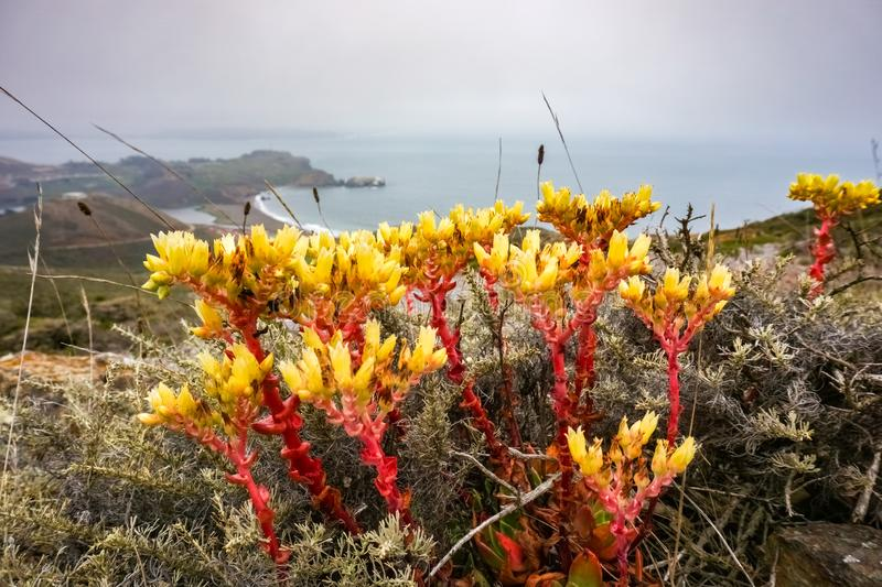 Stonecrop flowers on the Pacific Ocean Coast, Headlands, Golden Gate National Recreation Area, Marin County, California royalty free stock photos
