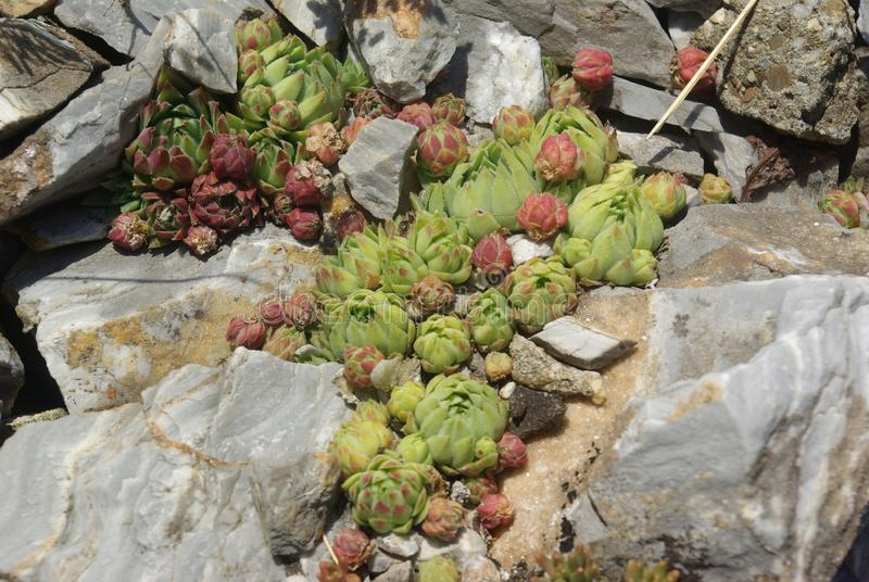 Rose between stones. The stonecrop is herb. It heals the otitis royalty free stock image