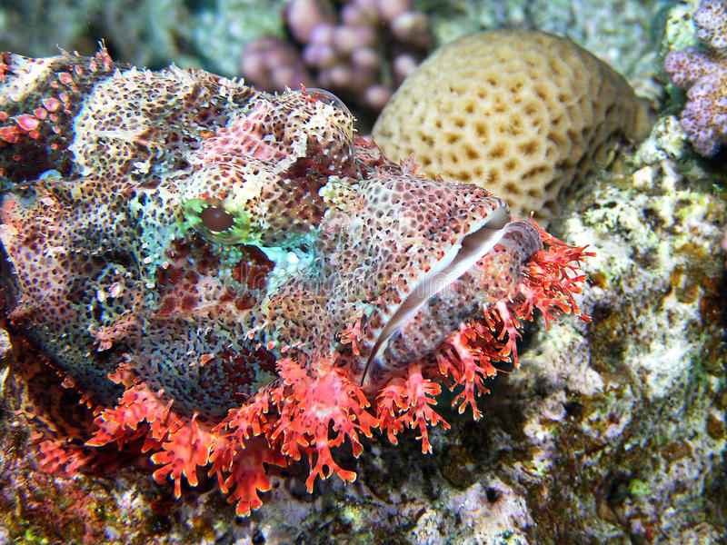 Stonefish. Portrait of beautyfull Stone fish stock photography