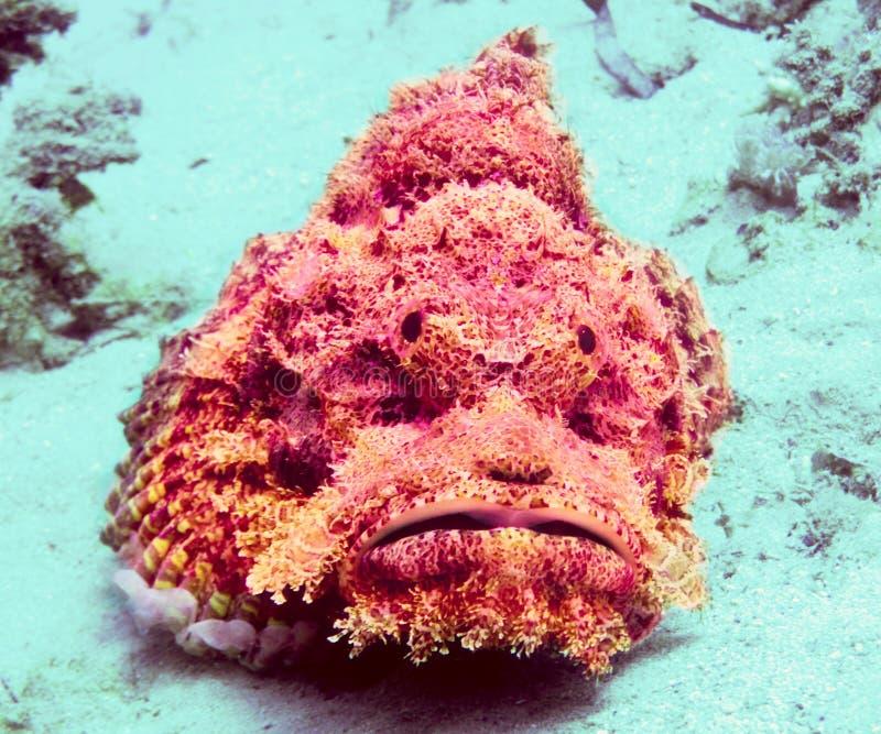 Stonefish photo libre de droits
