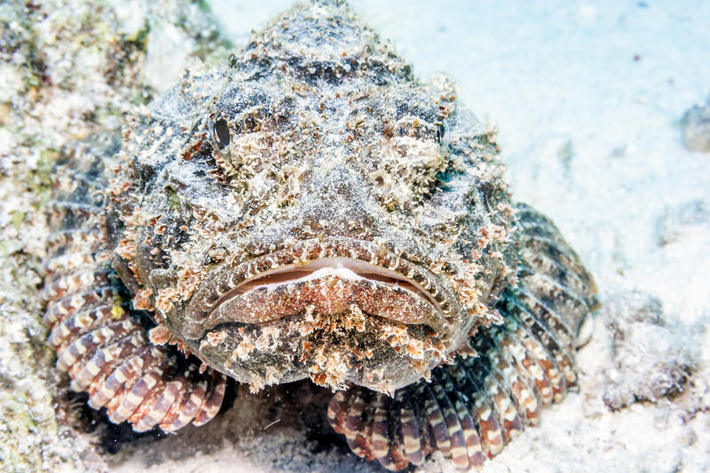 Stonefish photographie stock