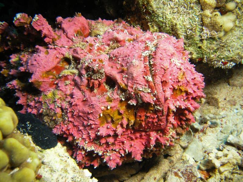 Stonefish royalty-vrije stock fotografie