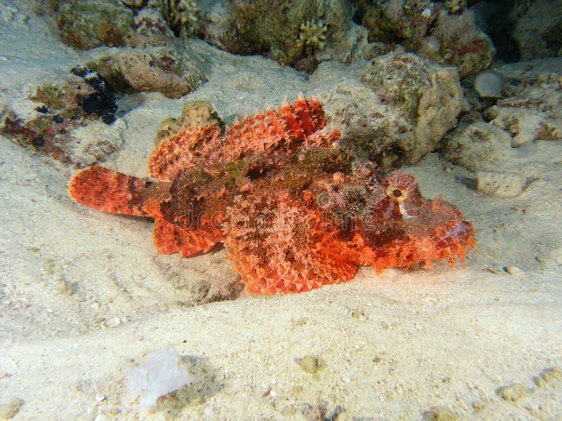 stonefish image stock