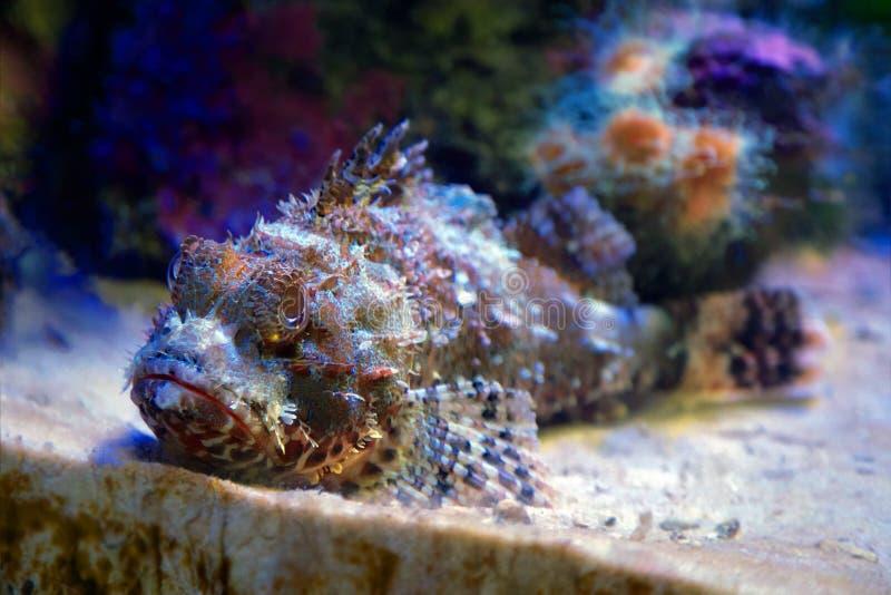 Stonefish stock photo