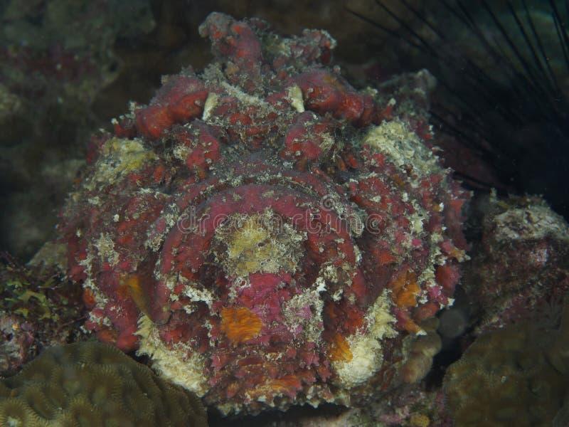 Stonefish royalty free stock photos