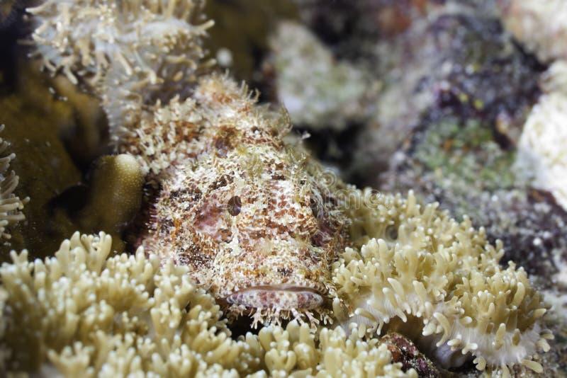 Stonefish camouflé photographie stock libre de droits