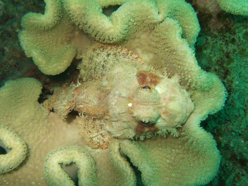 Stonefish camuflado fotos de archivo libres de regalías