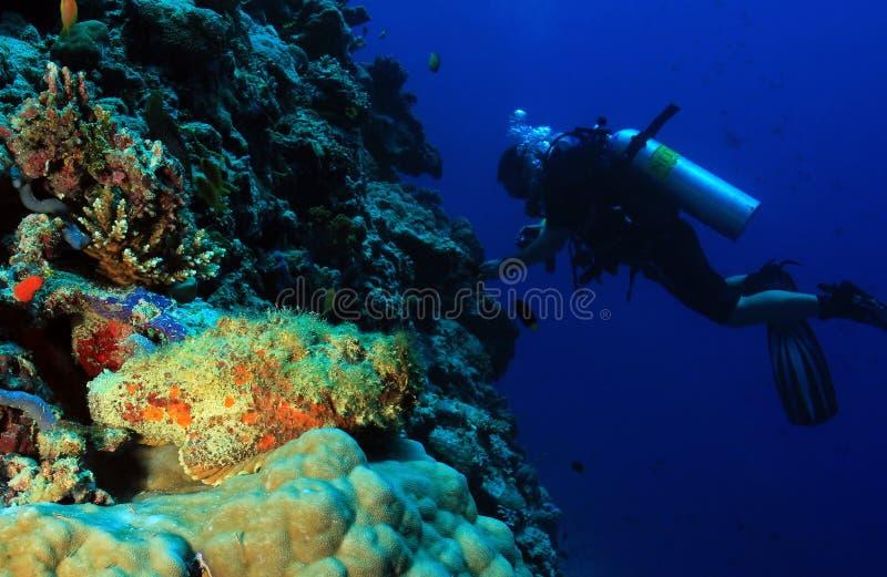 Stonefish et plongeur photos libres de droits