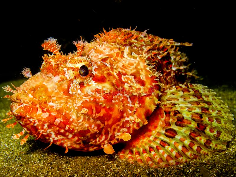 Stonefish la nuit image libre de droits